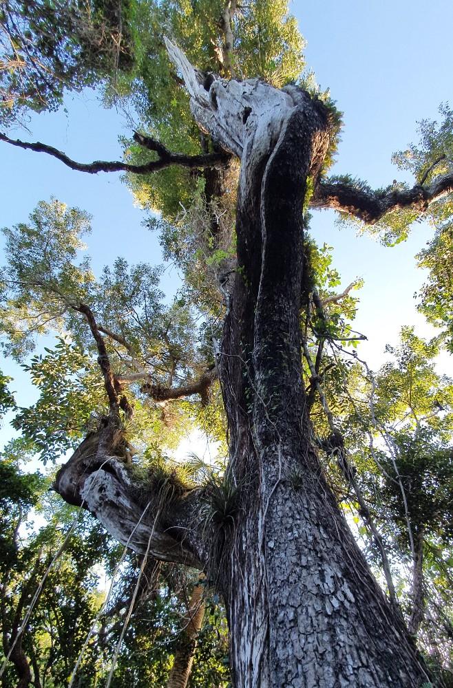 Antico albero di mogano lungo il Mahogany Hammock Trail nelle Everglades in South Florida