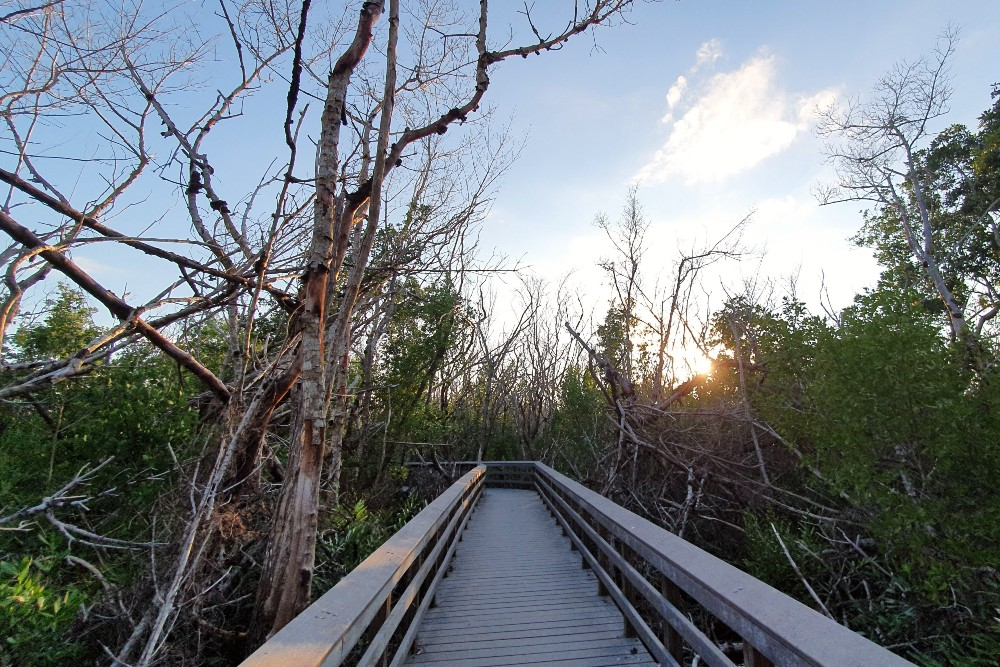 Passerella in legno tra le mangrovie del West Lake Trail nelle Everglades in South Florida