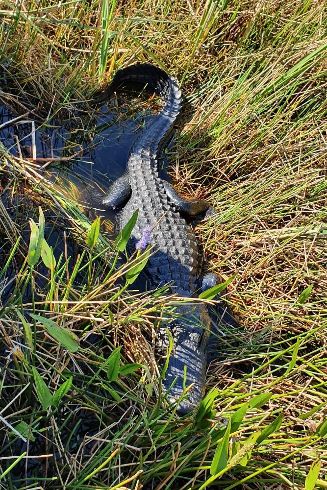 Avvistamento di un alligatore nelle Everglades in South Florida durante l'airboat tour