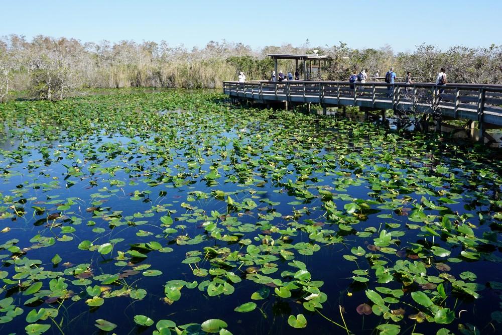 Lago di ninfee lungo l'Anhinga Trail nelle Everglades in South Florida