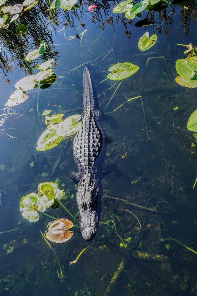 Avvistamento di un alligatore lungo l'Anhinga Trail nelle Everglades in South Florida