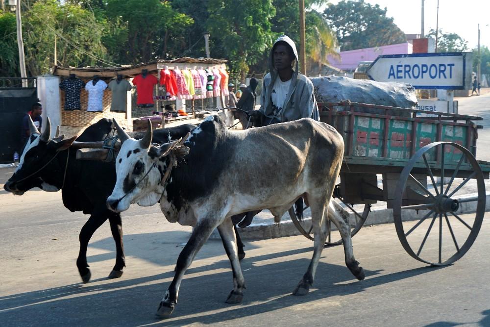 Carretto trainato da zebù a Morondava in Madagascar
