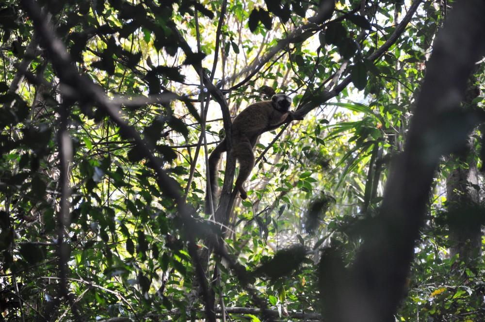 Brown Lemur nel Parco Nazionale Tsingy di Bemaraha in Madagascar