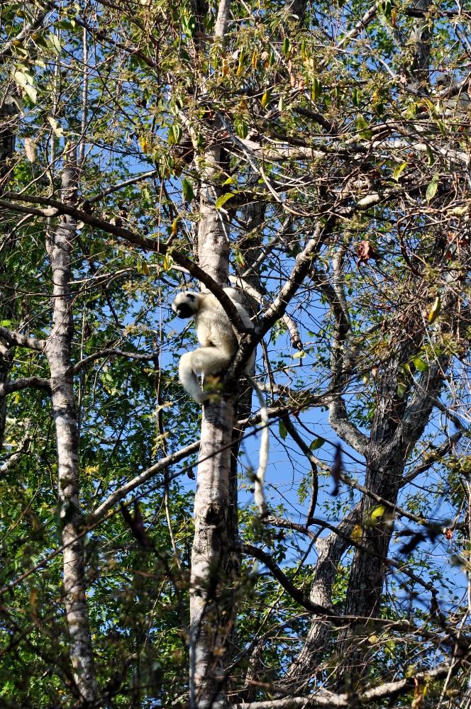 Lemure sifaka di Decken nel Parco Nazionale Tsingy di Bemaraha in Madagascar