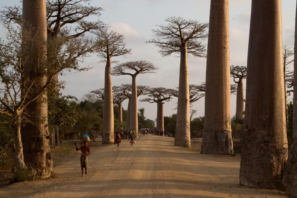 Madagascar: Allèe des Baobabs al tramonto con donne che portano i cesti sulla testa