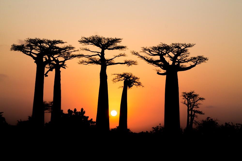 Madagascar: profilo della Allèe des Baobabs al tramonto con il sole infuocato