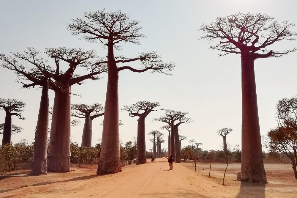 Allèe des Baobabs lungo la RN8 verso il Parco Nazionale Tsingy di Bemaraha in Madagascar