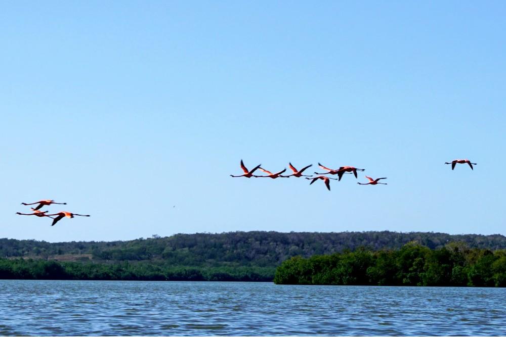 Fenicotteri nella Laguna di Guanaroca vicino a Trinidad a Cuba