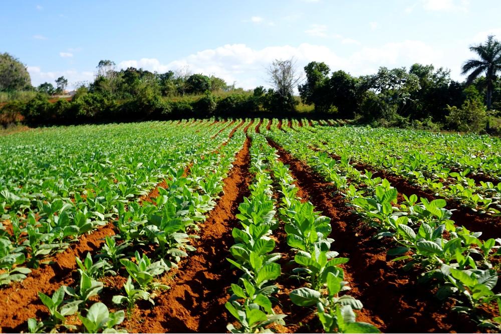 Viaggio a Cuba: coltivazioni di tabacco nella Valle de Viñales