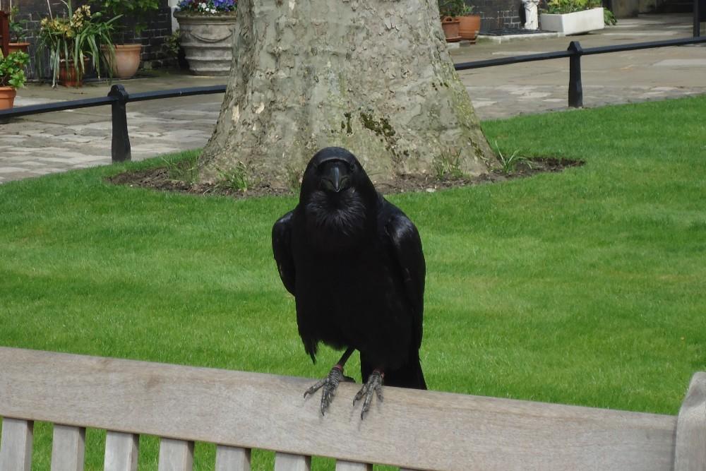 Corvo nero nella Tower of London a Londra