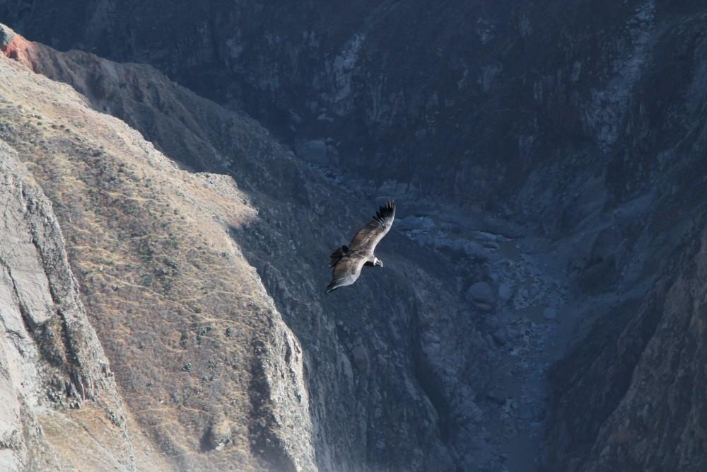 Condor in volo visto dalla Cruz del Cóndor nella Valle del Colca in Perù