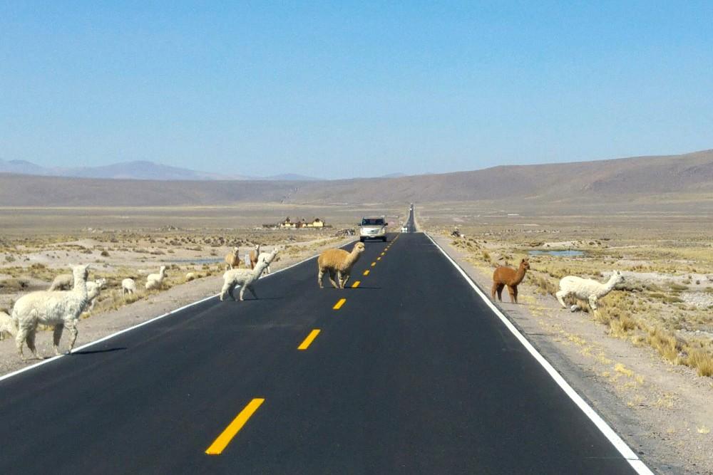 Strada a due corsie con gregge di alpaca verso Puno in Perù