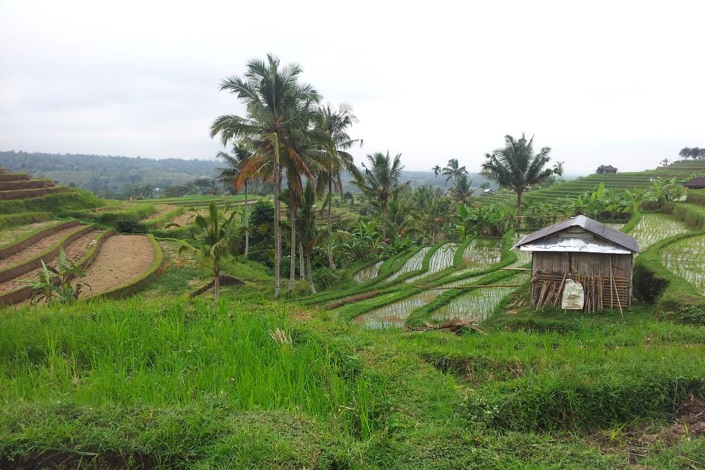 Viaggio a Bali: passeggiando tra le risaie di Jatiluwih, Patrimonio dell'Umanità UNESCO.