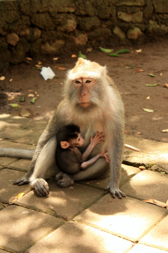 Viaggio a Bali: scimmia con cucciolo al Sacred Monkey Forest Sanctuary di Ubud.