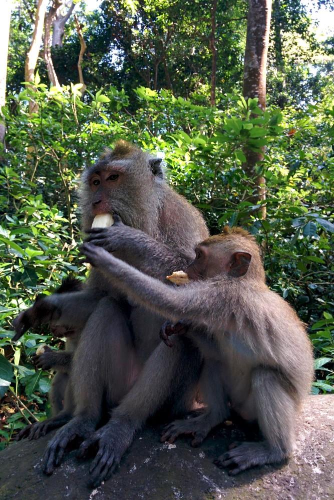 Scimmie che mangiano al Sacred Monkey Forest Sanctuary di Ubud a Bali in Indonesia.