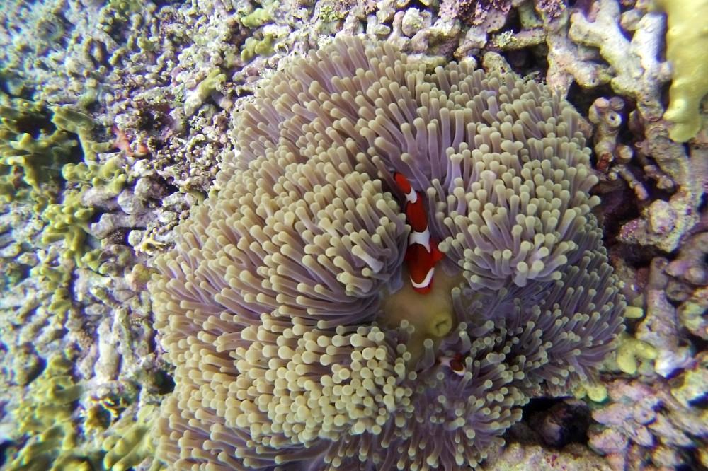 Viaggio a Bali: pesce pagliaccio nella barriera corallina di Pulau Menjangan in Indonesia.