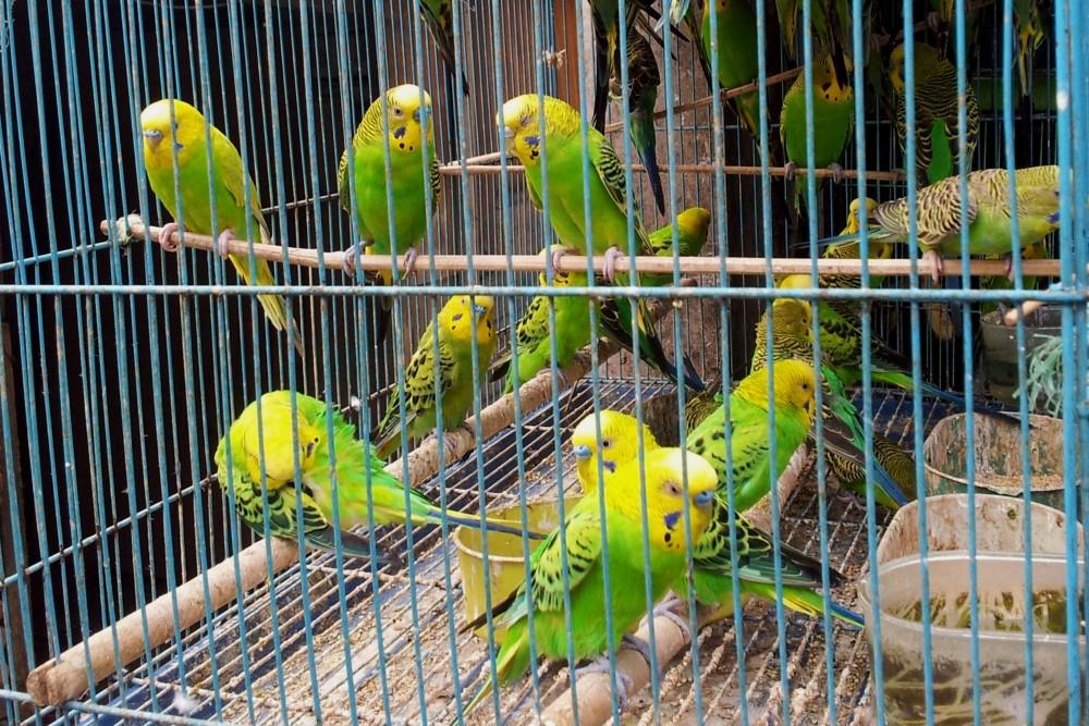 Gabbia con pappagalli verdi e gialli al mercato degli uccelli Pasar Burung di Malang a Giava in Indonesia.