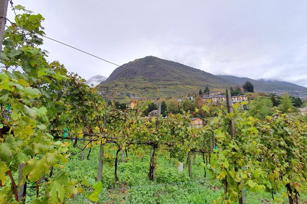 Vigne della Cantina di Alberto Marsetti di Sondrio per visita e degustazione dei vini durante il weekend in Valmalenco.