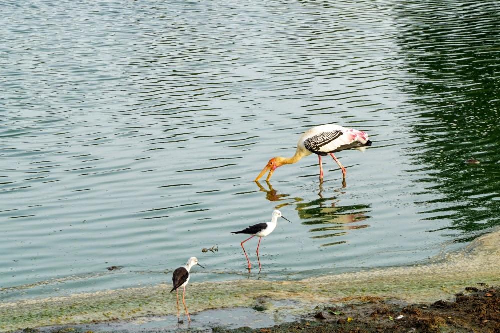 Cicogne avvistate durante il safari nel Parco Nazionale di Uda Walawe in Sri Lanka.