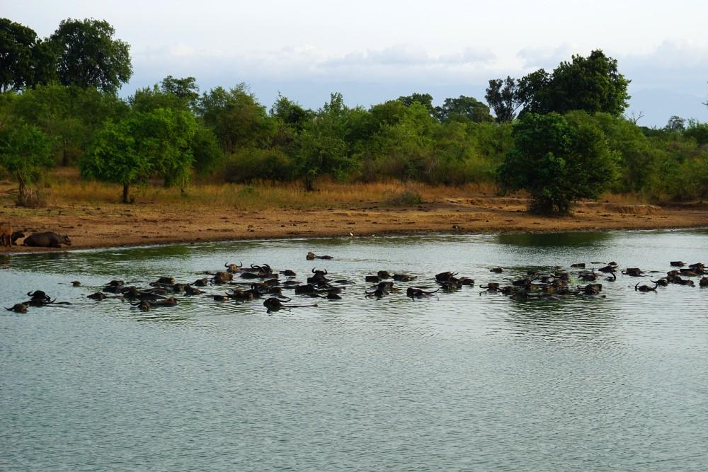 Bufali nel lago del Parco Nazionale di Uda Walawe in Sri Lanka.