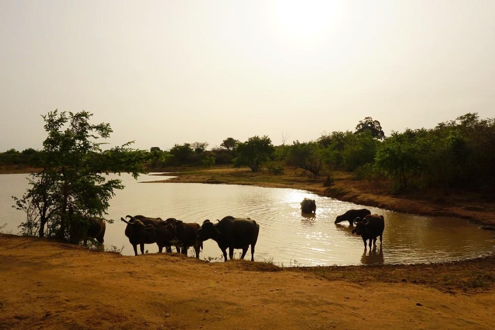 Bufali che si abbeverano nel Parco Nazionale di Uda Walawe.