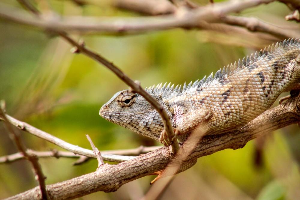 Camaleonte tra i rami degli alberi nel Parco Nazionale di Uda Walawe in Sri Lanka.