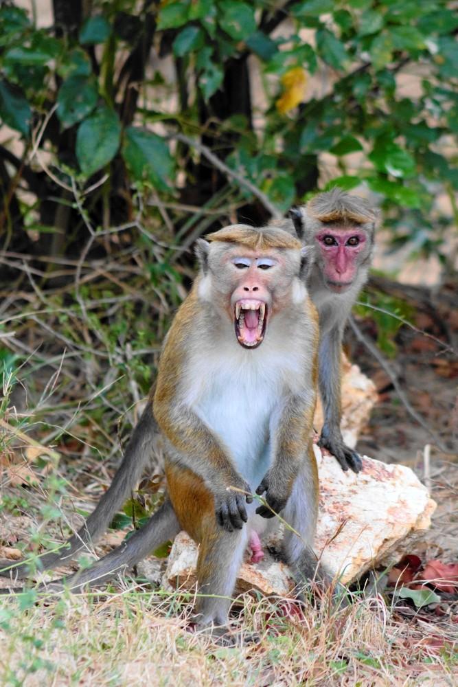 Scimmie nel Parco Nazionale di Uda Walawe in Sri Lanka.