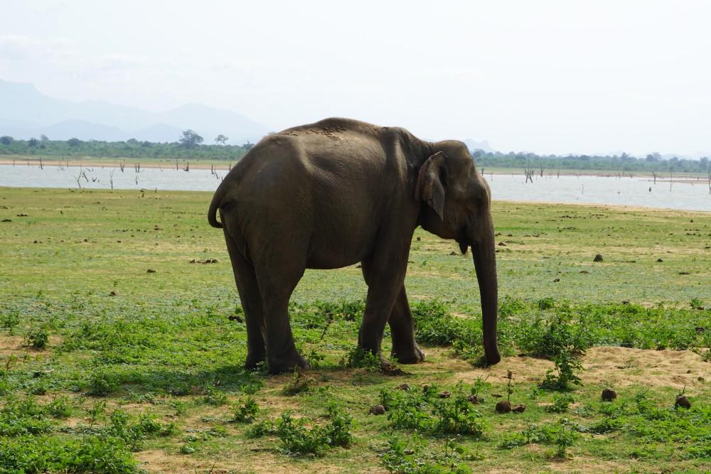 Elefante nella Uda Walawe Reservoir in Sri Lanka.
