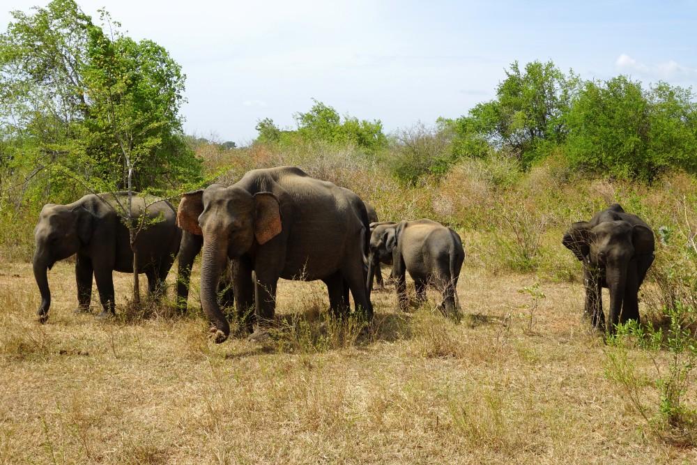 Branco di elefanti nel Parco Nazionale di Uda Walawe in Sri Lanka.